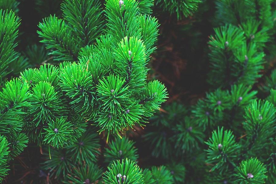 Ešte nemáte vianočný stromček? Požičajte si ho!